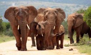 Trump Lifts Ban on Elephant Trophies