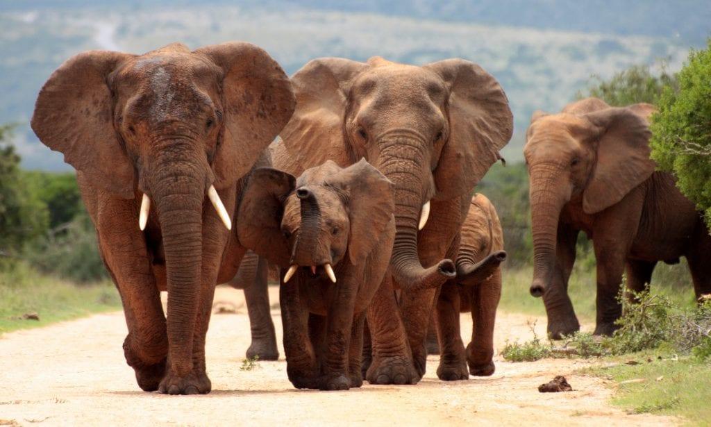 Trump Lifts Import Ban on Elephant Trophies