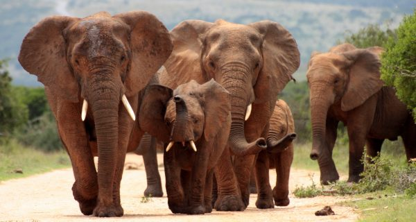 Trump Lifts Import Ban on Elephant Trophies